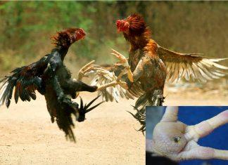 """วิธีการรักษา """"โรคหน่อไก่"""" (Staphylococcosis)"""