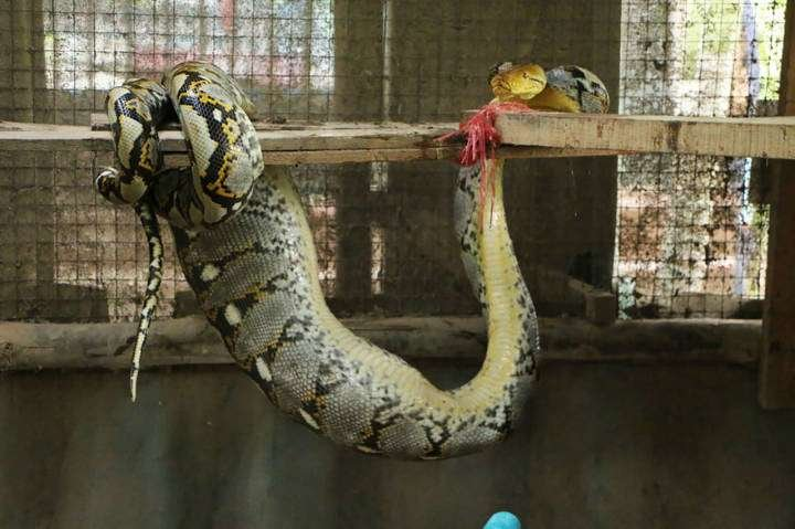 งูเหลือม! ลอบเข้าเล้าเขมือบไก่ชนกำนันฉะเชิงเทรา 4 ตัว ไก่ชนตัวเป็นแสน รอด !