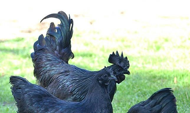 """ไก่สายพันธุ์ """"Ayam Cemani"""" ไก่ดำจากอินโดนีเซีย !"""