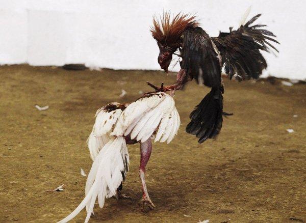 กรณีที่ไก่ชนเดิมพันแพ้ จะเอามาทำเป็นพ่อพันธุ์ไก่ชนได้หรือไม่