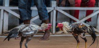 วิธีเลือกซื้อไก่ชนตีเก่ง ลักษณะไก่ชนที่มีความโดดเด่นเฉพาะตัว
