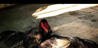 ทำไงดีเมื่อไก่ชนไม่ชอบวิ่งสุ่ม นำความรู้มาฝากเซียนไก่ ดังนี้