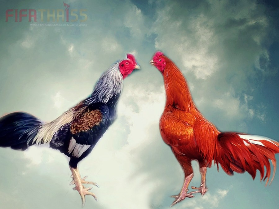 แนะนำการเลี้ยงไก่ เมื่อไก่ชนมีอาการหอบจัดหลังการชนในสังเวียน