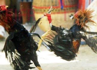 เทคนิคเซียนไก่ การรองขนไก่เมื่อพันเดือยก่อนลงสังเวียนเดิมพัน