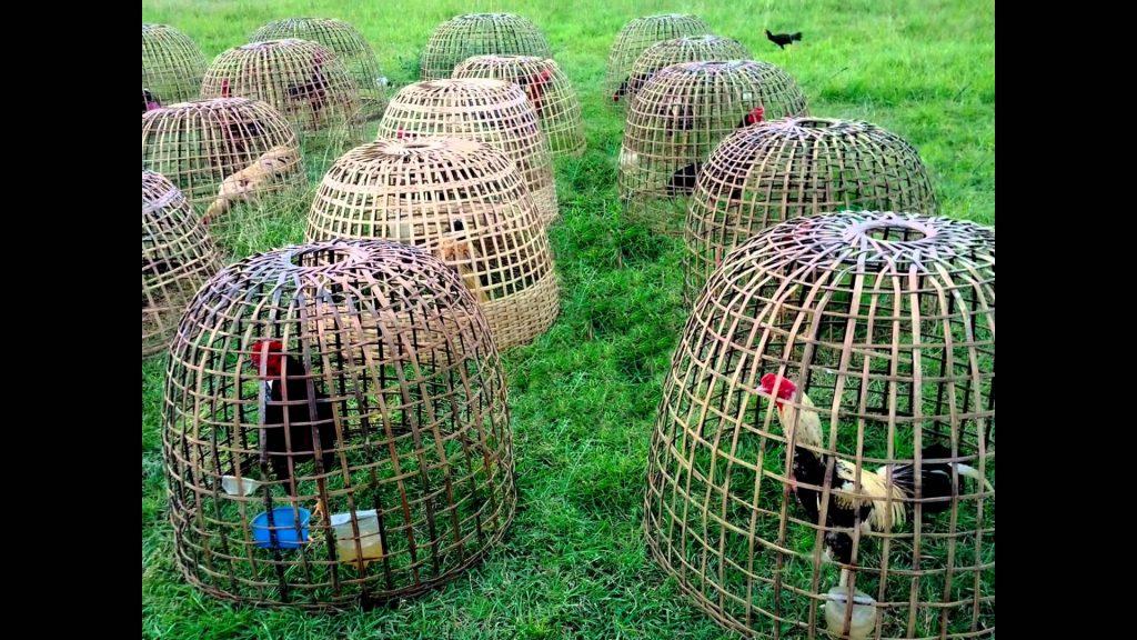 แนะนำไก่ชนลูกผสมพม่าที่มาแรง นิยมซื้อขายไก่ชน ลูกผสมพม่าไทย