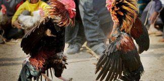 เซียนไก่ การดูแลไก่ชนหลังจากชนเสร็จ มีเทคนิคการดูแลไก่ดังนี้