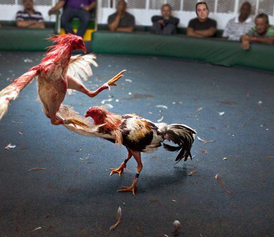 เทคนิคเลี้ยงไก่ สอนไก่วิดพื้นหรือกดหลัง ฉบับมือน้ำเซียนไก่