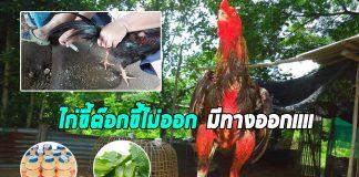 เซียนไก่ชน การดูแลอาการไก่ท้องผูก ไก้ขี้ต๊อก ไก่ขี้ไม่ออก