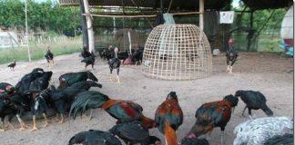 เทคนิคเซียนไก่ การเลี้ยงไก่ป่าก๋อย ไก่ป่าก๋อยสำหรับชนเดิมพัน