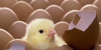 ความเชื่อของคนโบราณ การเลี้ยงไก่ชนทำรังฟักไข่เสริมบารมีไก่ชน