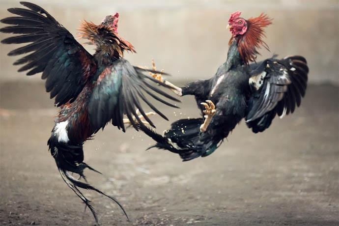 เทคนิคเซียนไก่ คัดเลือกไก่พร้อมเลี้ยงชน อายุต้องได้ ใจต้องดี