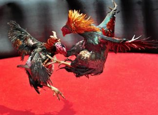 เลี้ยงไก่ ไก่ชนปศุสัตว์แห่งเกมกีฬาไทย สร้างอาชีพสร้างรายได้