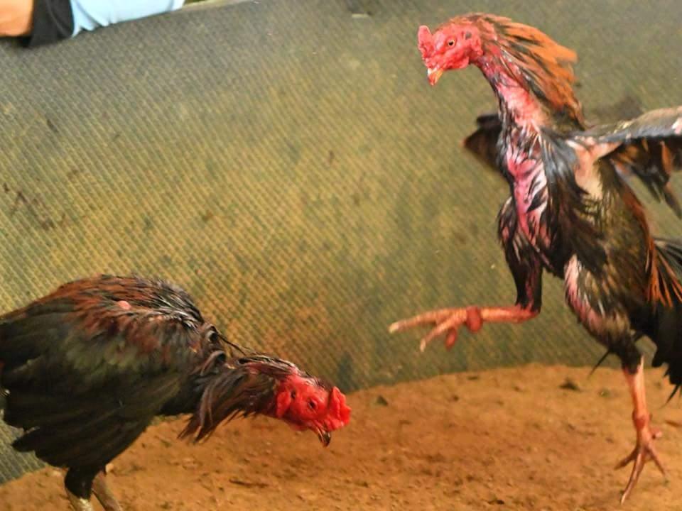 เทคนิคเลี้ยงไก่เก่ง ข้อห้าม ไก่ชนที่ไม่ควรเอาออกมาชนเด็ดขาด