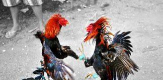 อนุรักษ์ไก่ชน ไก่ชนสัตว์คู่บ้านเลี้ยงด้วยใจรักษ์ ชั้นเชิงดี