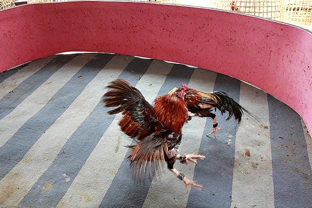คนรักไก่ชน เลี้ยงไก่ชนการฝึกซ้อมคู่หรือที่เรียกว่าการปล้ำไก่