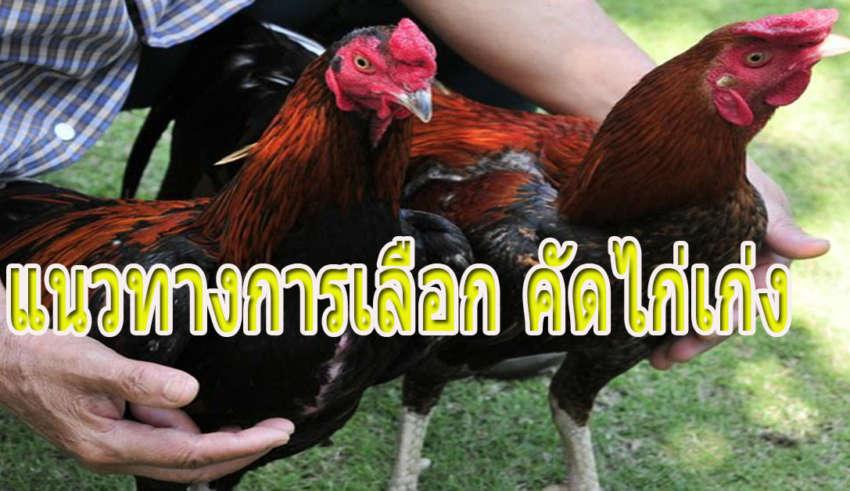 เทคนิคเซียนไก่ คัดเลือกไก่เก่ง ออกชน ปล้ำ-เตะ-ตีให้เห็นกับตา