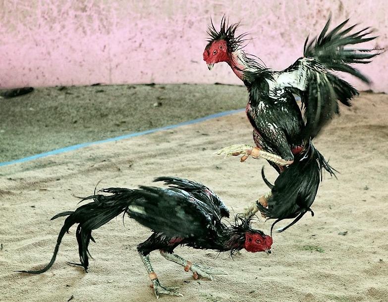 เทคนิคการเลี้ยงไก่ชน เซียนไก่ บอระเพ็ดกับไก่ชน เป็นของคู่กัน