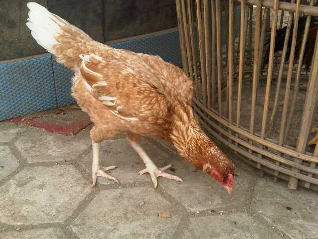 ความสำคัญของแม่ไก่ ไก่ตัวเมีย เป็นกลไกสำคัญในการผสมพันธุ์ไก่