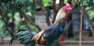 ไก่ชนพม่า ลักษณะไก่ชนพม่าที่ดีดูโดดเด่นสง่า และมีแววรุ่ง