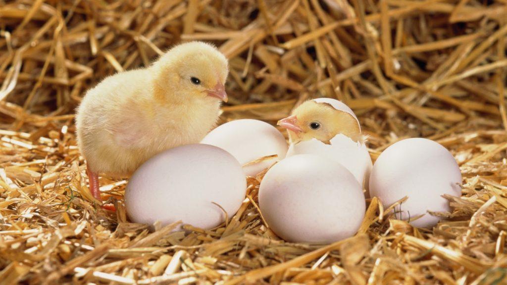 คำนึงการปฏิบัติการดูแลแม่ไก่ ขณะระหว่างที่แม่กำลังฟักไข่