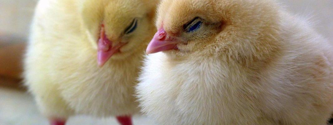 การเลี้ยงลูกไก่ ให้ปลอดภัยไม่เป็นอันตรายและอาหารที่เหมาะสม