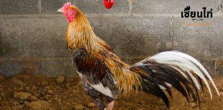 การติดตามการพัฒนาการไก่ชน กระแสไก่ชนช่วงนี้เป็นอย่างไรบ้าง