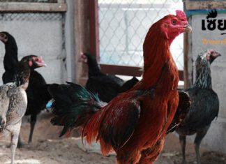 แนวทางการหาสายพันธุ์ไก่ไซง่อนมาผสมกับพม่า ว่าจะเลือกแบบไหนดี