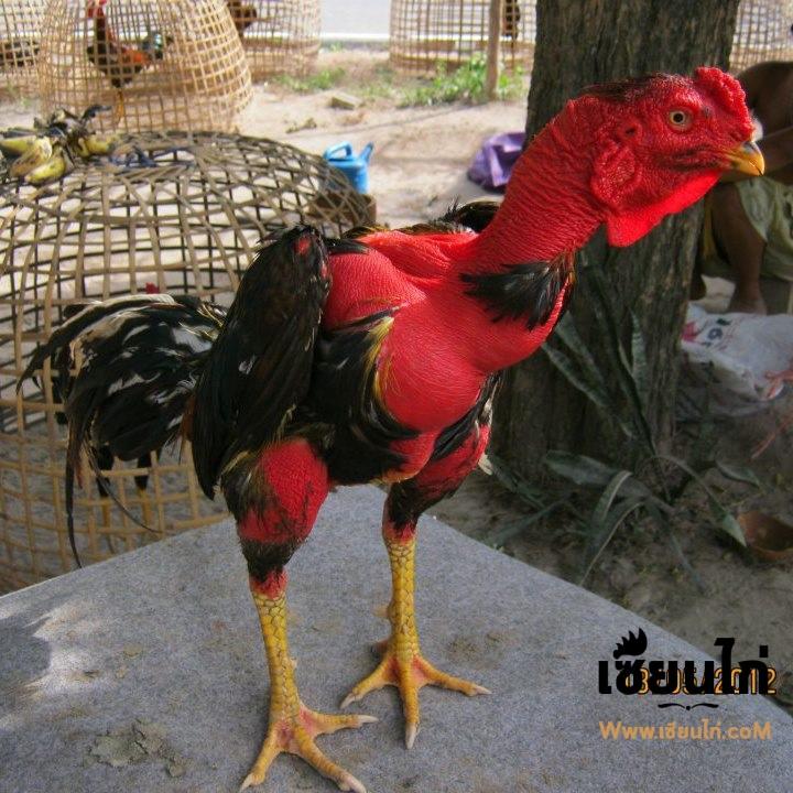 การเลี้ยงลูกไก่ไซง่อน100ให้เป็นไก่ที่พร้อมชนควรเลี้ยงอย่างไร